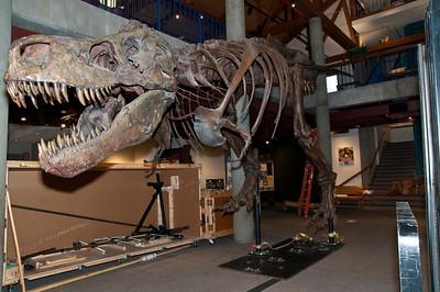 A T.rex Named Sue