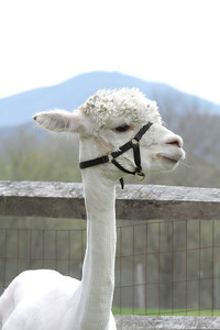 IMG_5153 JPG alpaca and Mt Ascutney