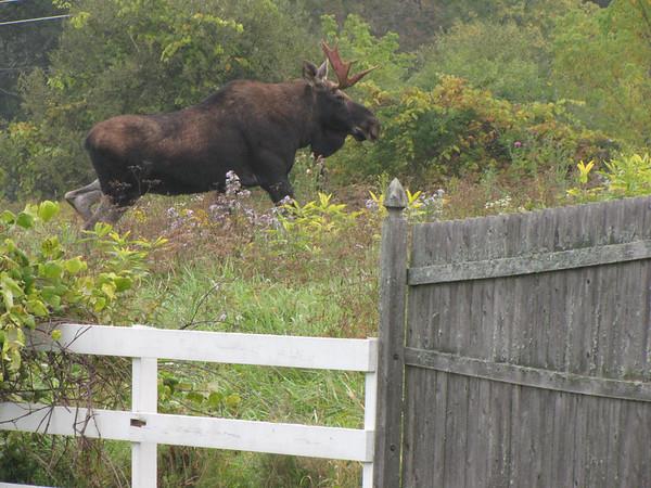 Taftsville Moose, Apple Hill Inn