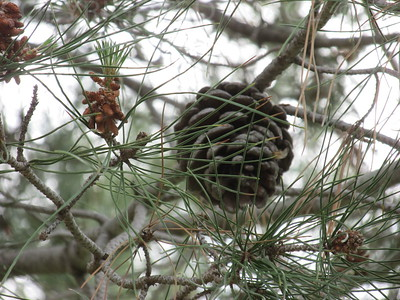 Pine Cone In The Tree