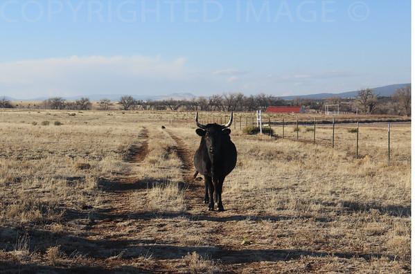 Bull Stare Down
