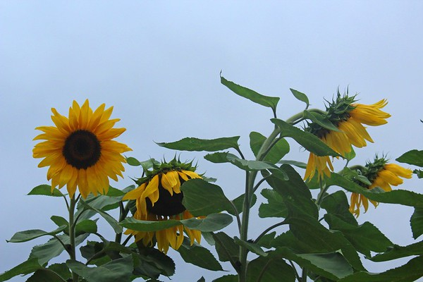 Anne of Green Gable's Sunflowers