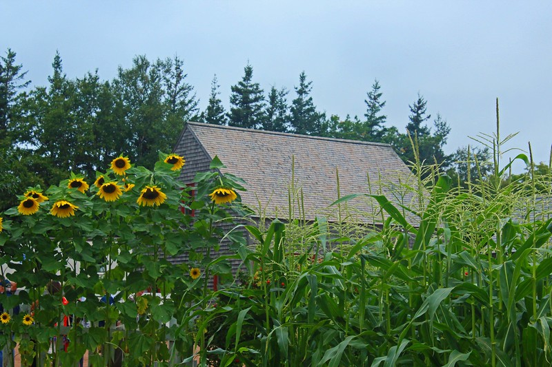 Anne of Green Gables Sunflowers & Barn