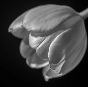 Tulip SY