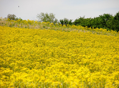Yellow Field of Happiness