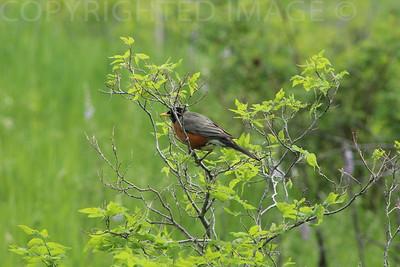 Sitting Red Robin