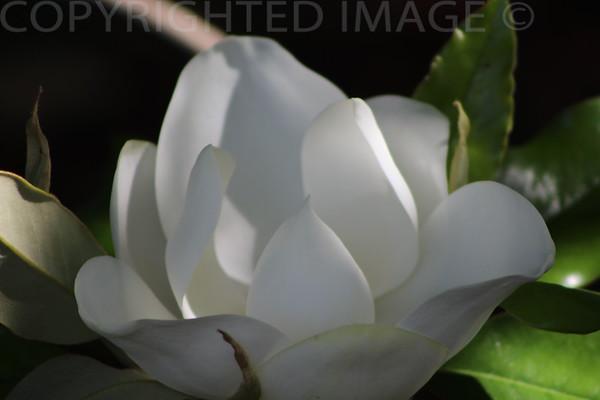 Nature's White Lace