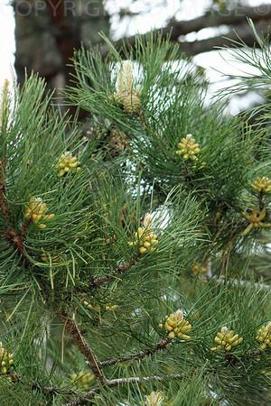 Pinecone Beginning