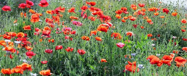 Poppy Garden Surprise