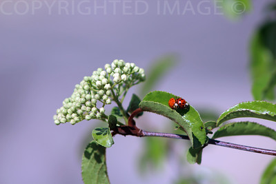 Two Lady Bugs
