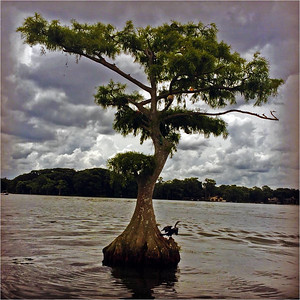 Cypress Beauty