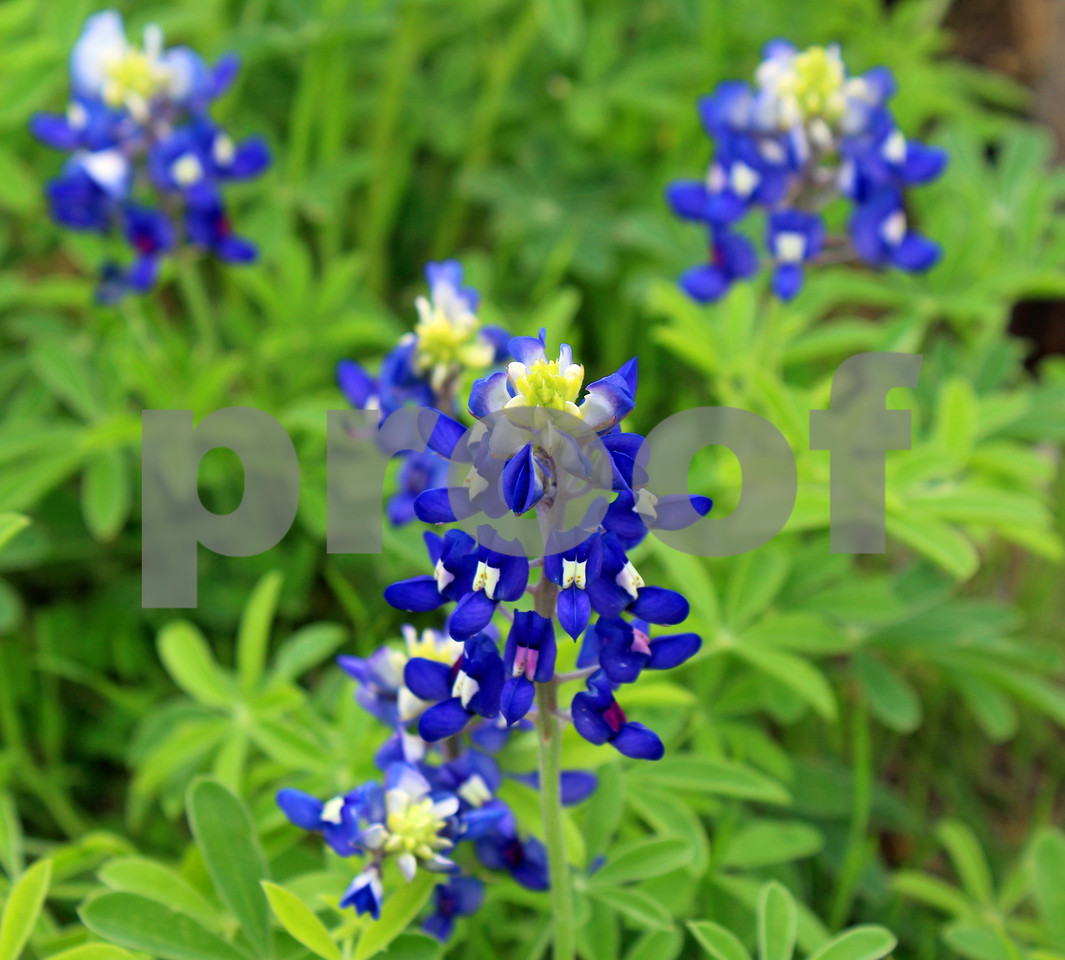 Lauren's Blue Bonnets