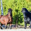 2 stallions with attitude