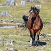 restless stallion sounding the challenge