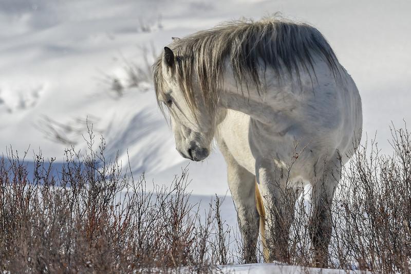 White Spirit, band stallion