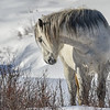 White Spirit, band stallion