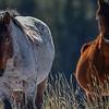 band stallion & mare