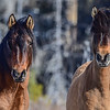 lead mare and  mare