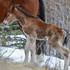 3rd new foal 2014 - mothers touch