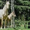 mare 7 foal