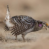sharp-tailed grouse male - dancing