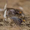 sharp-tailed grouse males - dancing