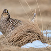 sharp-tailed grouse male