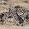 sharp-tailed grouse males