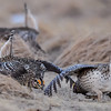 sharp-tailed grouse males - stare down