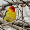 Western Tanagers are tropical for most of the year.....they fly to Alberta for only a few short months to raise a new generation on the seasonal  explosion of food in the forests.