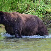 this large Grizzly is called Dog Bear.  He was the very first bear I saw in Fish Creek just outside of Hyder Alaska.