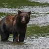 Mira is a female Grizzly that had a cub this last spring.  It disappeared early in the spring and locals think a male probably killed it as they are known to do.