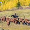 2 ladies doing cattle roundup duties in Kananaskis country