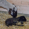 mom and lamb in the barn