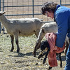 first lambs arrival and Karen helping move it to the barn