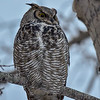 male GH owl