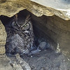 Update #1 - Great Horned Owl cave nest - mom on the nest no owlets viewed to date