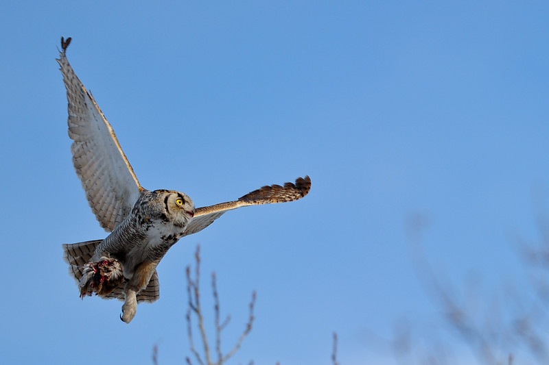 Great Horned Owl with a meal