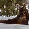 Lazy Moose