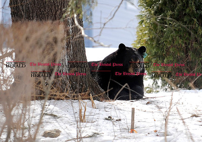 3/4/2014 Mike Orazzi | Staff A black bear off Glendale Drive Tuesday afternoon in Bristol.