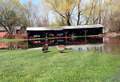 Johnny Burnham | Staff Two geese take advantage of a flooded yard at a property on Lower Lane. The area flooded thanks to Wednesday and Thursday morning's heavy rain.