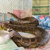 Python at snake monastery in Bago, Myanmar