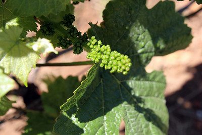 In early June, the grapes are pellet sized.