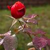 Thanksgiving Rose