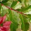 Oregon Grape Leaves, Little Applegate, Jackson CG, RR NF, Oregon
