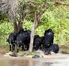 046 Water Buffalo