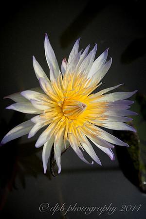 Lily - Nymphaea Stellata