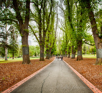Avenue of English Elms