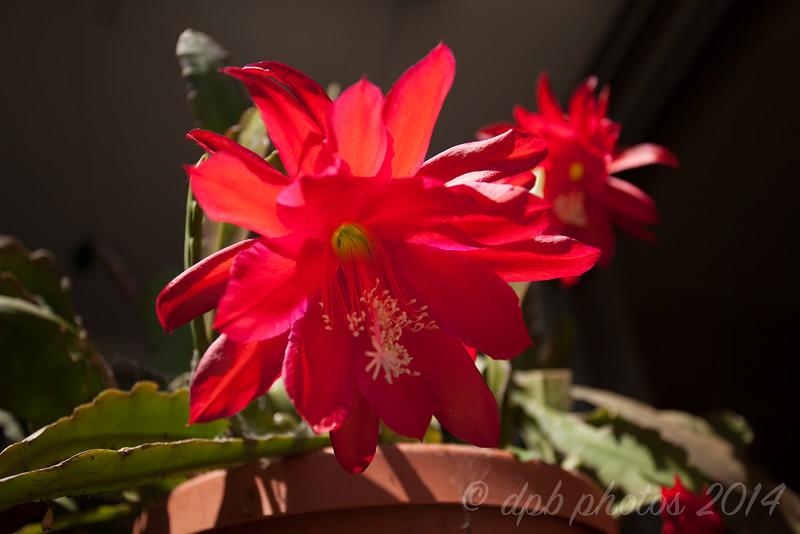 """Big Red"" Epiphyllum"
