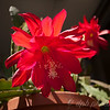 """Big Red"" Epiphyllum"